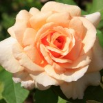 Peach Rose- Melissa's Moms GardenCreswell, North Carolina