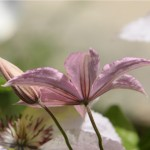 Clematis - Melissa's Moms GardenCreswell, North Carolina