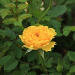 Miniature Yellow Rose - Our Front YardGarner, North Carolina