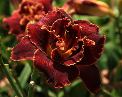 Oakes Daylilies 2009 - Preview